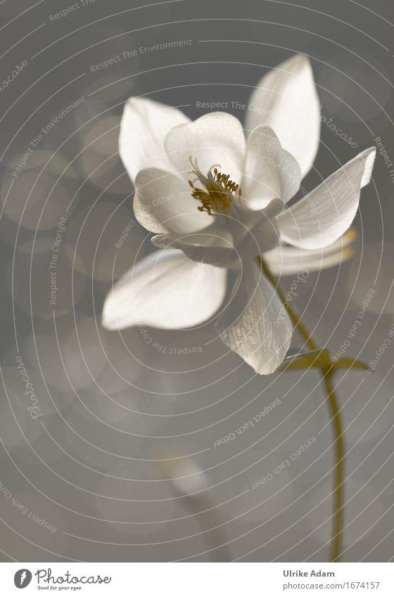 Weiße Akelei (Aquilegia) Natur Pflanze Sonnenlicht Frühling Sommer Blume Blüte Wildpflanze Topfpflanze Stauden Garten Park Wiese Blühend leuchten hell Wärme