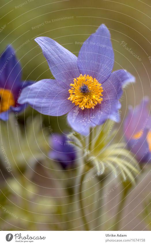 Tanzende Kuhschelle Natur Pflanze Frühling Blume Blatt Blüte Wildpflanze Garten Park Wiese Dekoration & Verzierung Blumenstrauß Poster Postkarte Blühend