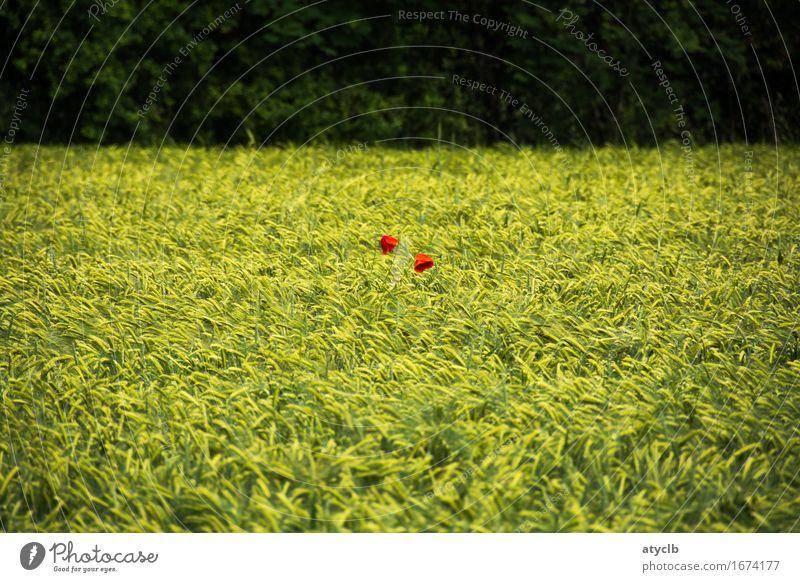 2 Punkte rot Natur Pflanze Landschaft Wald Umwelt Frühling Liebe Zufriedenheit Feld Ernährung Getreide Umweltschutz Nutzpflanze
