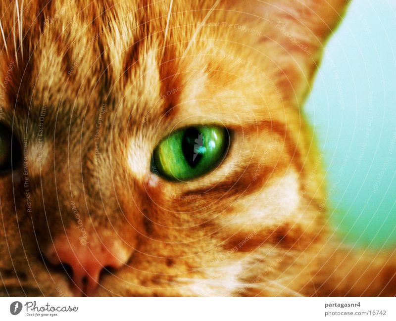 Nero Auge Katze Hauskatze