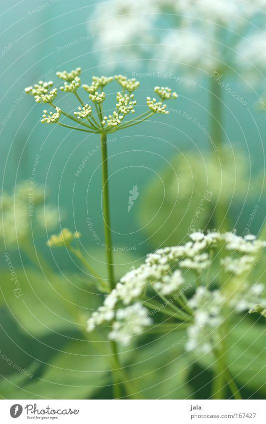 Wild things Natur schön weiß Blume grün Pflanze Freude Wiese Blüte hell Feld wild Lebensfreude türkis Heilpflanzen Nutzpflanze