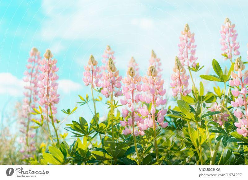 Rosa Lupinen Blumen über Himmel Natur Ferien & Urlaub & Reisen Pflanze Sommer schön Sonne Landschaft Blatt Blüte Wiese Lifestyle Garten rosa Design
