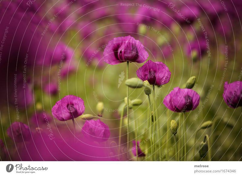 MOHNfeld Mohn elegant Stil Natur Pflanze Sommer Schönes Wetter Blüte Wildpflanze Mohnblüte Mohnfeld Mohnkapseln Blütenpflanzen Klatschmohn Blütenstiel Feld