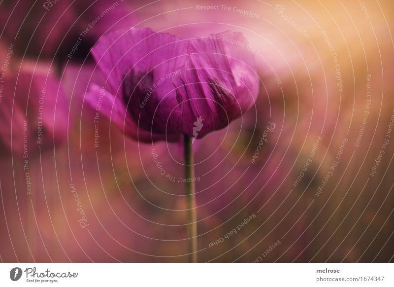 MOHN im Licht Mohn elegant Stil Natur Pflanze Sommer Schönes Wetter Blüte Wildpflanze Klatschmohn Mohnblüte Blütenblatt Blütenstiel Feld Farbe Lichteinfall