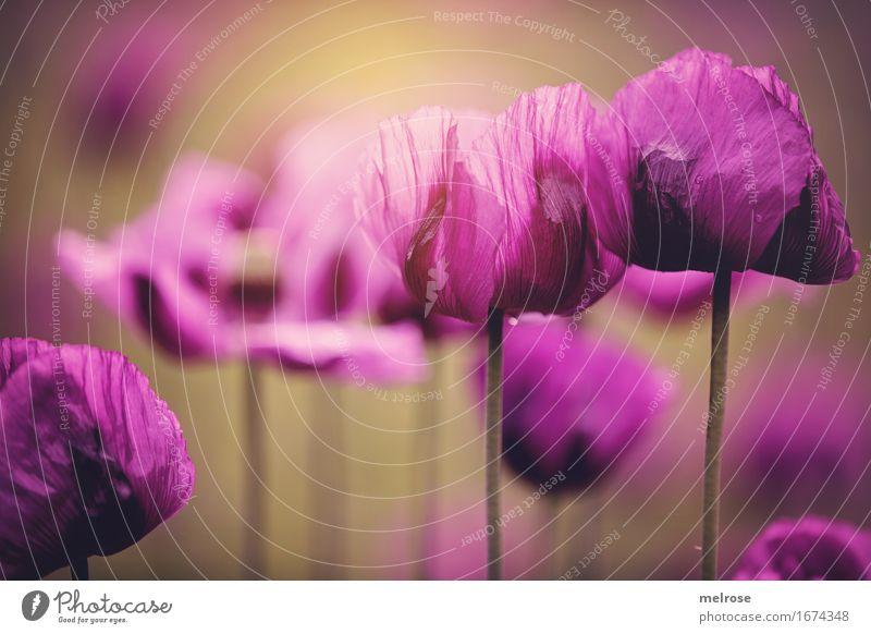 MOHN-Lichtblick Natur Stadt Pflanze Sommer schön Blume Blatt Blüte Stil braun Zusammensein leuchten elegant Blühend Lebensfreude Schönes Wetter