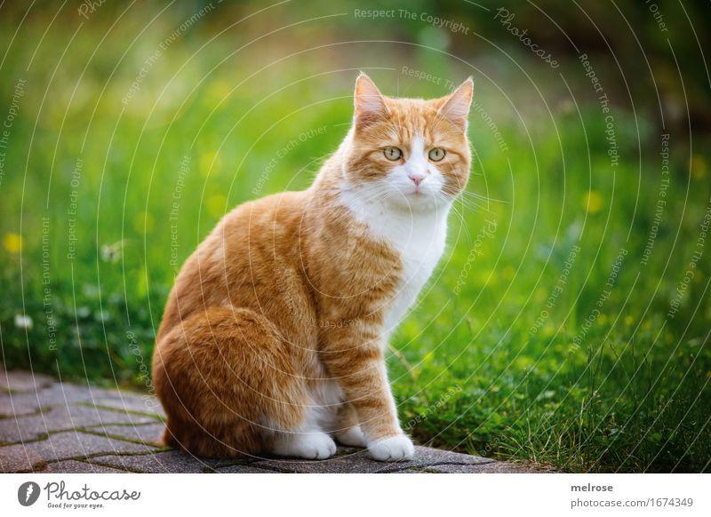 1A Note Körperhaltung Katze Sommer schön grün weiß Tier Gras feminin Stil Garten braun Zufriedenheit elegant sitzen Lächeln niedlich