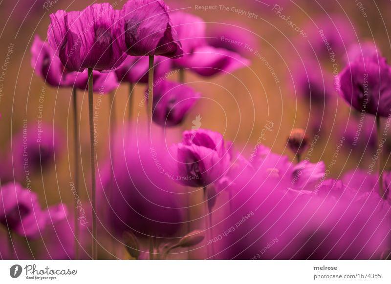 666 - Schnapszahl elegant Stil Natur Pflanze Sommer Schönes Wetter Blume Blüte Wildpflanze Mohnblüte Klatschmohn Blütenstauden Blütenstiel Mohnkapsel Mohnfeld