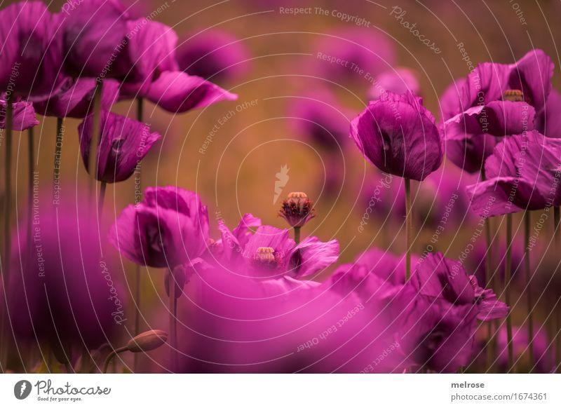 Mittwochs- M O H N Natur Stadt Pflanze Farbe Sommer schön Blume Blüte Stil braun Zusammensein Feld leuchten elegant Blühend Lebensfreude