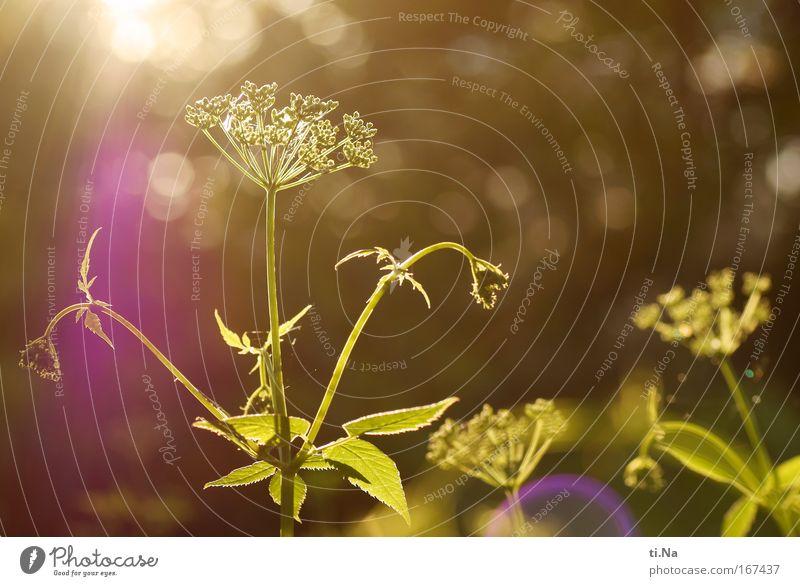 Augen zu und knips - von der Sonne geblendet Farbfoto Außenaufnahme Abend Dämmerung Sonnenstrahlen Gegenlicht Erholung Umwelt Natur Landschaft Pflanze Tier