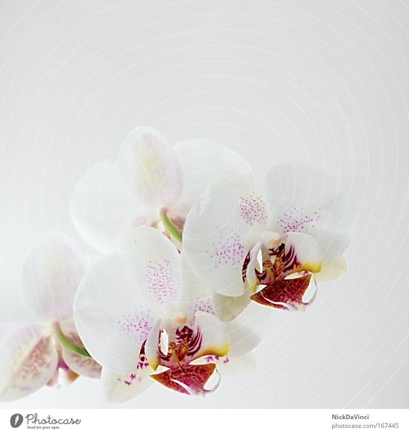 Orchidea schön Blume Pflanze ruhig Ferne Leben Erholung Stil Blüte Zufriedenheit Wohnung elegant Lifestyle Wellness Dekoration & Verzierung Lebensfreude