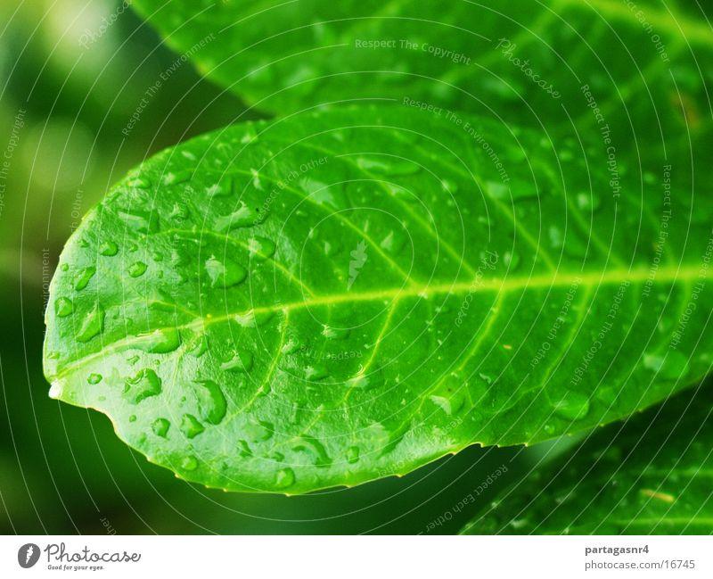 Blatt Tropfen Wasser Nahaufnahme grün Wassertropfen