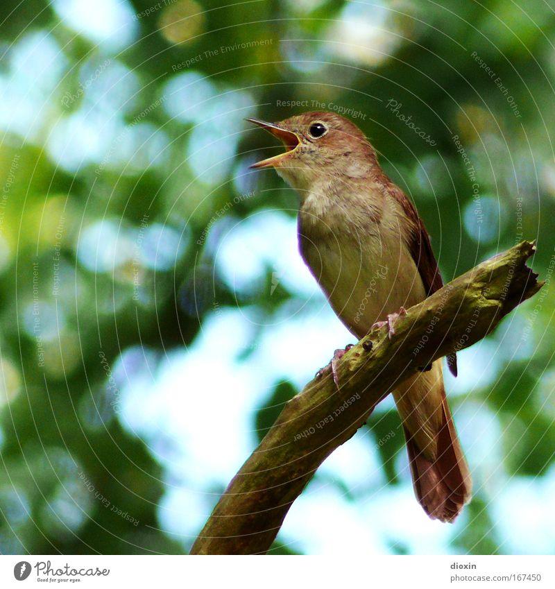 Luscinia luscinia Natur schön Baum Tier Umwelt Landschaft Auge Leben Vogel Park Wildtier sitzen Flügel Feder Ast hören