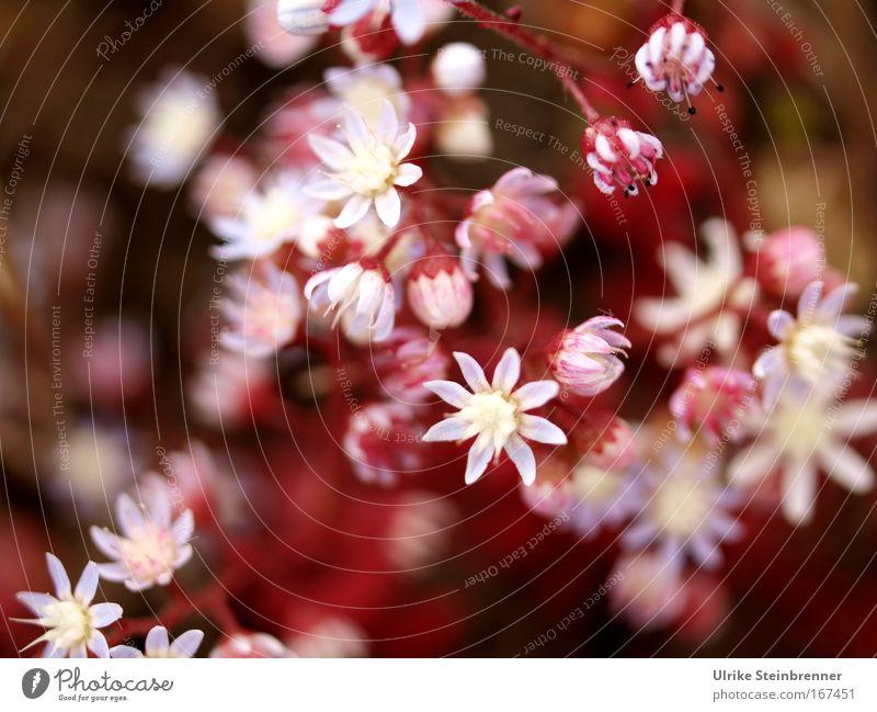 Rosa Flora Natur Pflanze Farbe weiß Blume Frühling Blüte rosa leuchten Wachstum Blühend Stern (Symbol) zart Duft exotisch Frühlingsgefühle