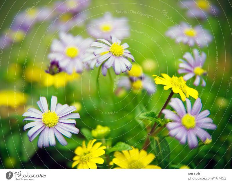 Blütenmix Blume rosa Wachstum violett Dekoration & Verzierung Gänseblümchen Blütenknospen Gartenarbeit Margerite pflanzlich Staubfäden Duftveilchen