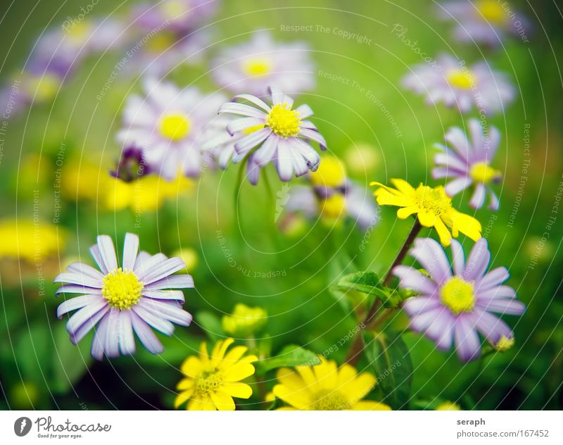 Blütenmix Gänseblümchen Staubfäden stamp blooming florescence Blume growth plant flora floral botany pflanzlich violett Duftveilchen rosa petals soft garden