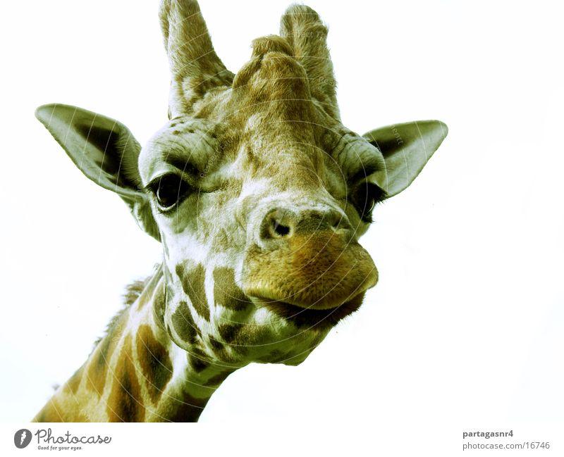 Giraffe lustig