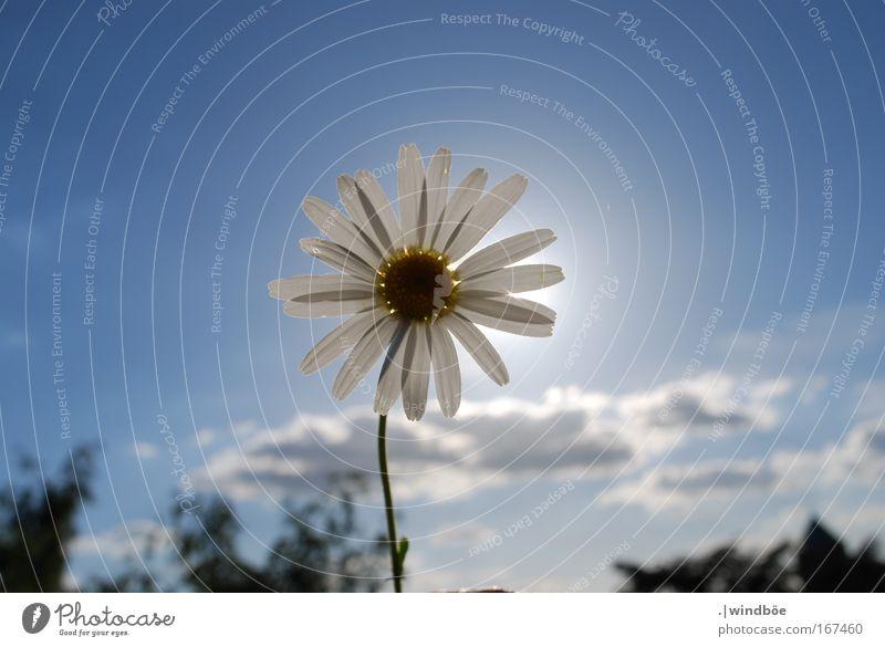 In die Sonne Natur Himmel weiß Blume blau Pflanze Sommer ruhig Wolken Einsamkeit gelb Erholung Blüte Frühling Glück grau
