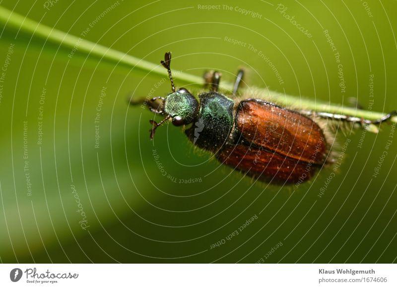 Lass mich in ruhe Umwelt Natur Tier Frühling Sommer Gras Grünpflanze Käfer 1 beobachten krabbeln Blick niedlich braun grün schwarz friedlich Klettern Fühler