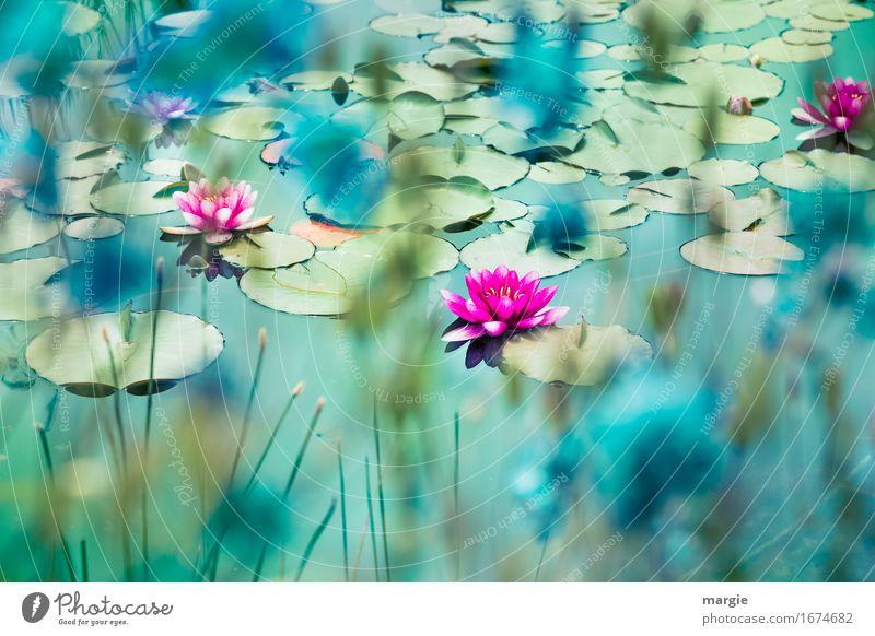 Wunderschöne Seerosen  auf einem Teich Natur Pflanze Blume Rose Garten Bach Fluss rosa türkis Seerosenblatt Seerosenteich Teichufer Wasser Schwimmen & Baden