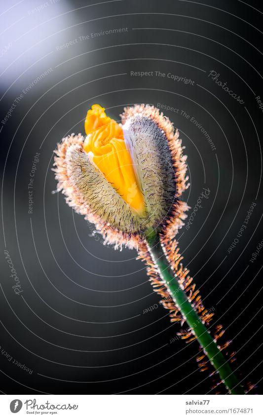 sie öffnet sich Natur Pflanze Frühling Sommer Blume Blüte Mohnblüte Garten ästhetisch gelb grau schwarz Glück Hoffnung Glaube Duft Stimmung aufmachen Blühend
