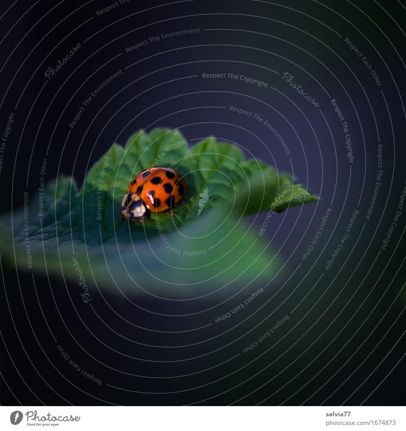 Vielpunkt harmonisch Wohlgefühl Sinnesorgane ruhig Natur Pflanze Tier Frühling Sommer Blatt Wildtier Käfer vielpunkt Marienkäfer Insekt nützlich 1 krabbeln