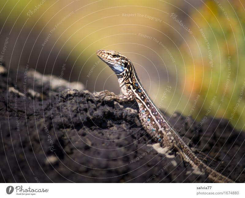 Wärme tanken Umwelt Natur Tier Erde Sommer Felsen Gesteinsformationen Wildtier Schuppen Krallen Reptil Zoologie Echsen Echte Eidechsen 1 beobachten genießen