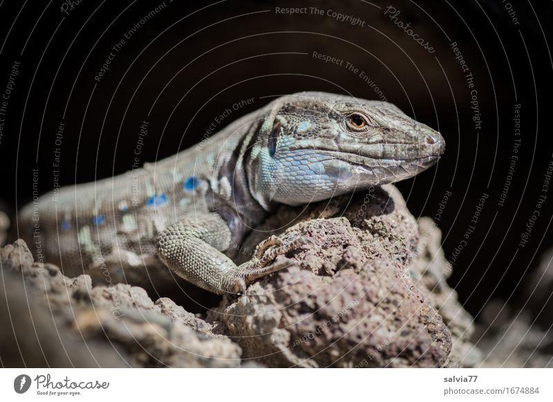 Sonne tanken Natur Tier Erde Wärme Felsen Wildtier Tiergesicht Schuppen Reptil Echte Eidechsen 1 Schwimmen & Baden genießen krabbeln hell Geschwindigkeit blau