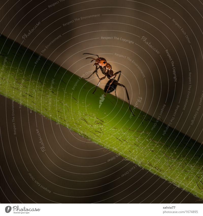 Du kommst hier net rauf Natur Pflanze Tier Stengel Wildtier Insekt Ameise 1 krabbeln Aggression bedrohlich klein braun grau grün Kraft Wachsamkeit gereizt