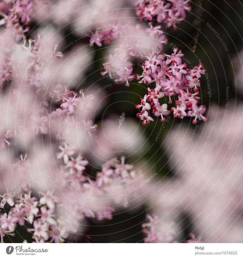 rosa Blütentraum... Umwelt Natur Pflanze Frühling Sträucher Holunderbusch Holunderblüte Garten Blühend Wachstum ästhetisch außergewöhnlich schön einzigartig