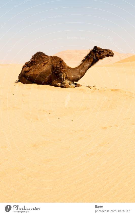 Oman leeres Viertel der Wüste ein freies Ferien & Urlaub & Reisen Safari Natur Tier Sand Himmel Hügel heiß wild braun grau schwarz weiß Asien Arabien trocken