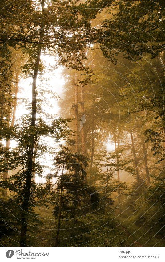 golden forest Natur grün Pflanze Baum Wald Umwelt dunkel braun außergewöhnlich Nebel Urelemente bedrohlich geheimnisvoll Surrealismus unheimlich Märchenwald