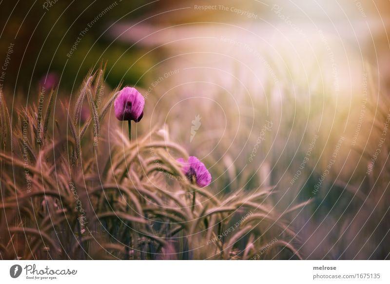Mittwochs-MOHN Mohn elegant Stil Natur Pflanze Sonne Sonnenlicht Sommer Blume Blüte Wildpflanze Getreide Feldfrüchte Klatschmohn Mohnblüte Blütenstauden