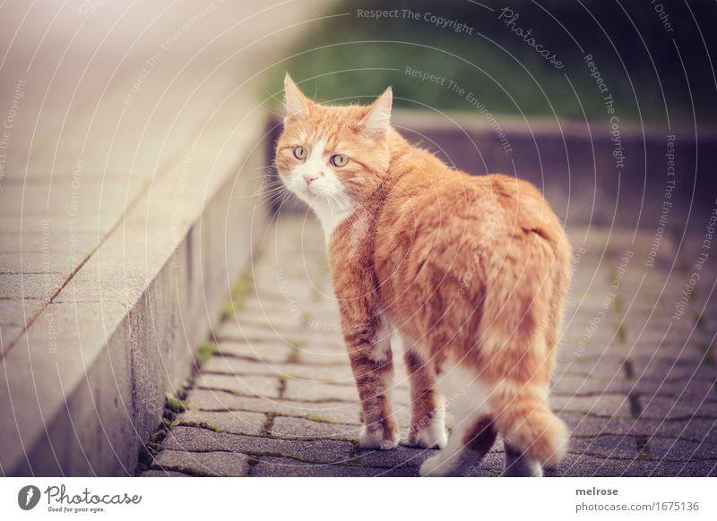 Wochenend-Abgang elegant Stil Garten Tier Haustier Katze Tiergesicht Fell Pfote 1 Treppe Erinnerung Pflastersteine beobachten Bewegung gehen Blick frech schön