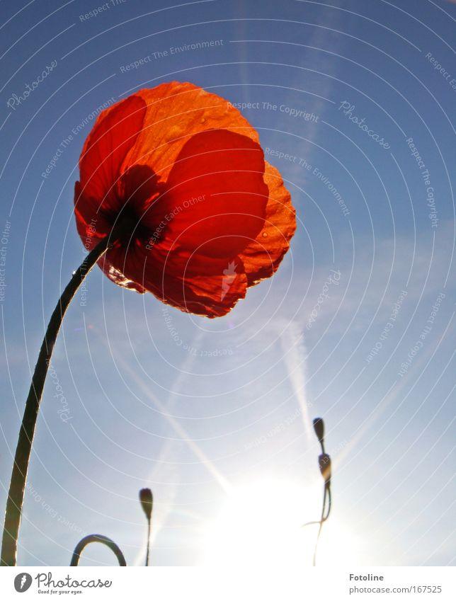 Bis in den Himmel! Farbfoto Außenaufnahme Tag Sonnenlicht Sonnenstrahlen Umwelt Natur Pflanze Luft Wassertropfen Frühling Blume Blüte Wiese Tropfen Wärme blau