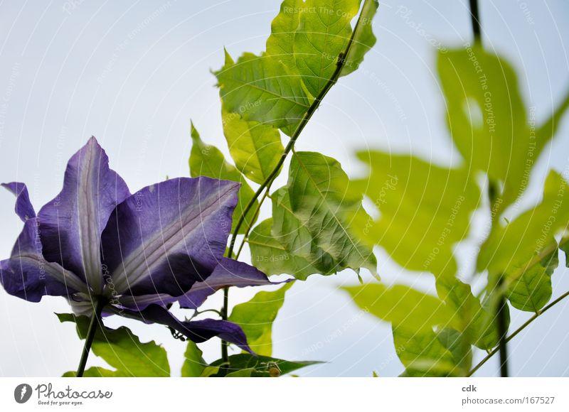 in den Himmel ranken Farbfoto Außenaufnahme Menschenleer Tag Schwache Tiefenschärfe Natur Pflanze Luft Wolkenloser Himmel Sonne Frühling Sommer Schönes Wetter