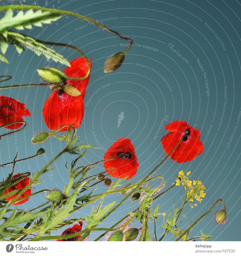 John McCrae: In Flanders Fields (1915) Froschperspektive Umwelt Natur Landschaft Pflanze Tier Luft Himmel Blume Gras Blüte Grünpflanze Nutzpflanze Wildpflanze