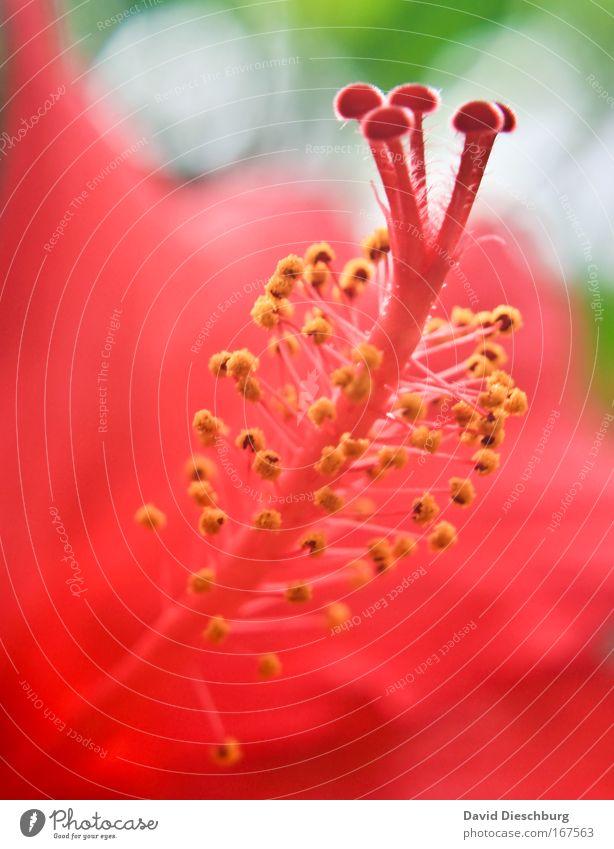 Makrowelten Natur schön Sommer Pflanze rot Blume Blüte außergewöhnlich rosa Stengel Duft exotisch Stempel Pollen Wildpflanze Nektar