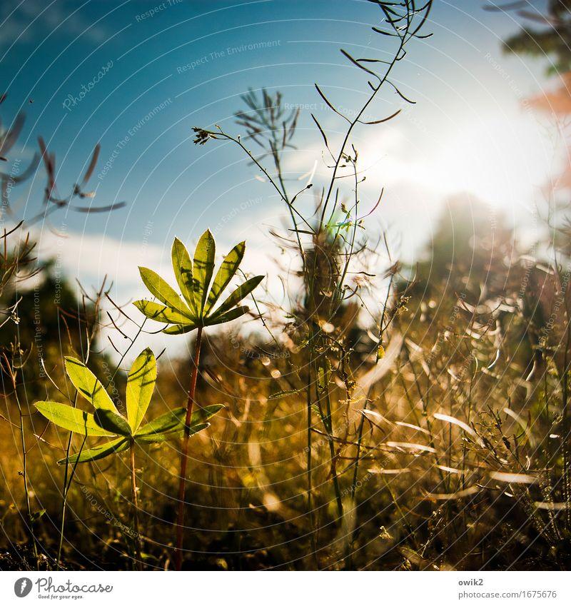 Junge Lupine Umwelt Natur Landschaft Himmel Wolken Schönes Wetter Pflanze Sträucher Blatt Nutzpflanze Wildpflanze Lupinenblatt Unkraut Wachstum authentisch