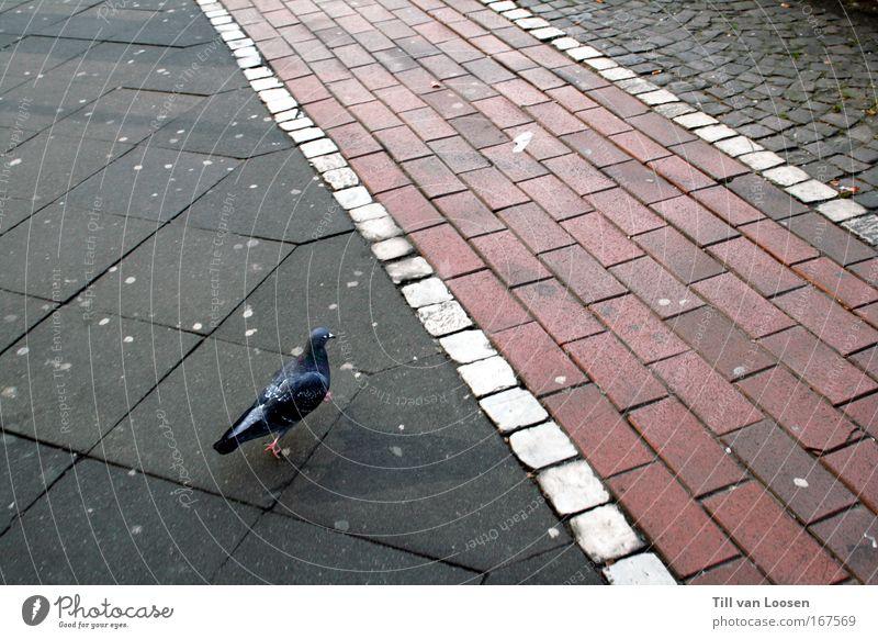 walk the line Farbfoto Außenaufnahme Textfreiraum rechts Tag Vogelperspektive Straßenverkehr Fußgänger Tier Taube 1 Beton fahren füttern laufen Stadt grau rot