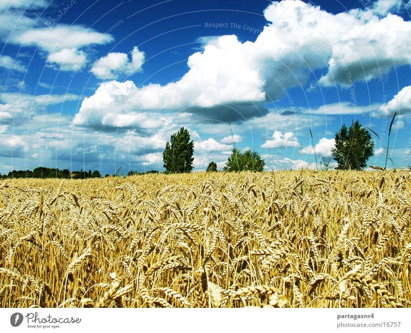 Weizenfeld mit Wolken Himmel Sommer reif Ernte Korn Landwirtschaft
