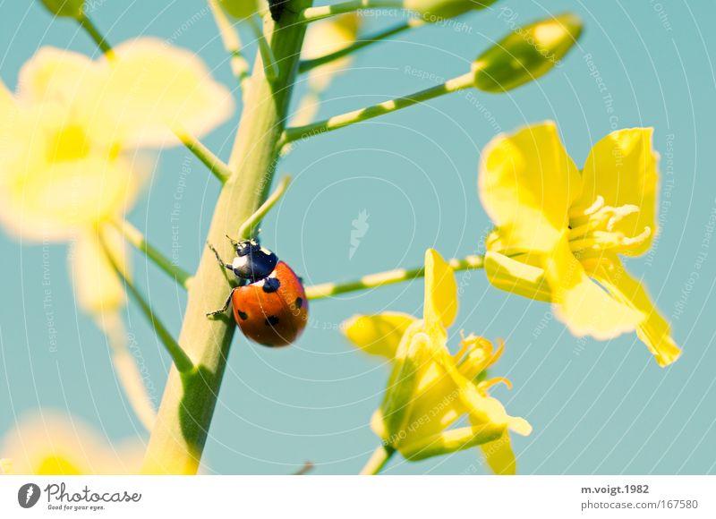 Marienkäfer IV Farbfoto Nahaufnahme Detailaufnahme Makroaufnahme Starke Tiefenschärfe Natur Pflanze Tier Wolkenloser Himmel Frühling Sommer Blüte Raps Käfer 1