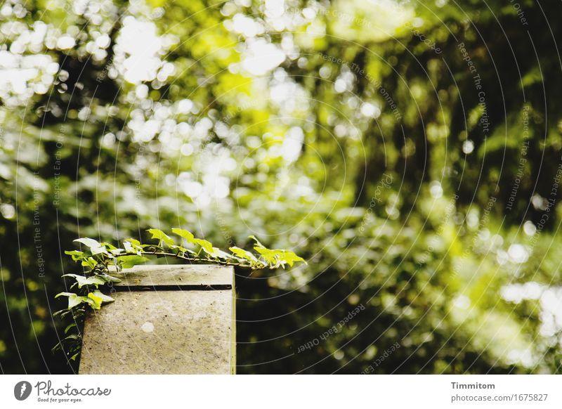 Gottesacker. Pflanze grün Baum natürlich Tod Stein Wachstum Sträucher Hoffnung Trauer Friedhof Efeu Grabstein