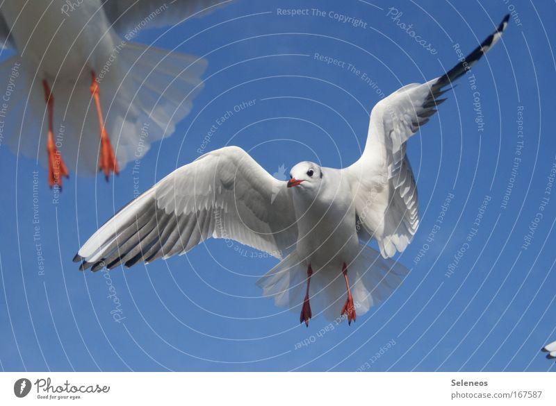 Augenblick Farbfoto Außenaufnahme Tag Tierporträt Blick nach vorn Wildtier Vogel Tiergesicht Flügel Möwe 2 fliegen frei blau weiß