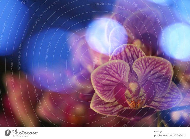 dreamin' Natur Pflanze Frühling träumen Blume exotisch Orchidee