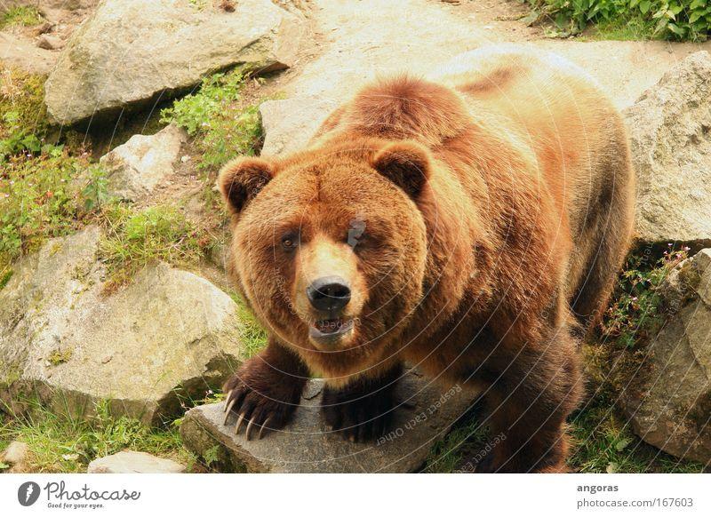 augenkontakt schön Tier Stein braun Kraft elegant beobachten Zoo Stolz Bär muskulös