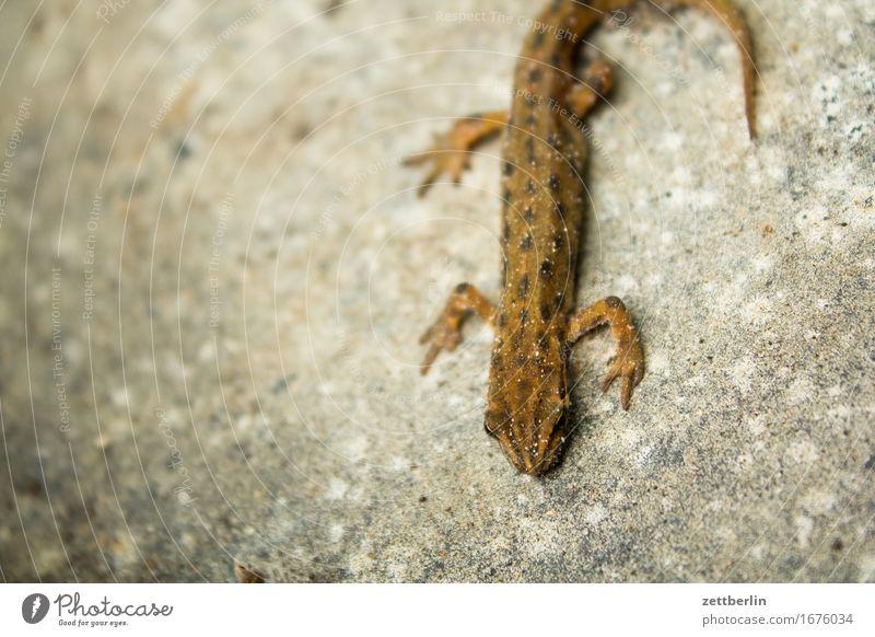 Molch von oben nach unten Lurch Amphibie Artenschutz Echsen Tier gartenmolch klein Reptil Natur Umweltschutz Wasserfrosch Teich Wildtier Textfreiraum