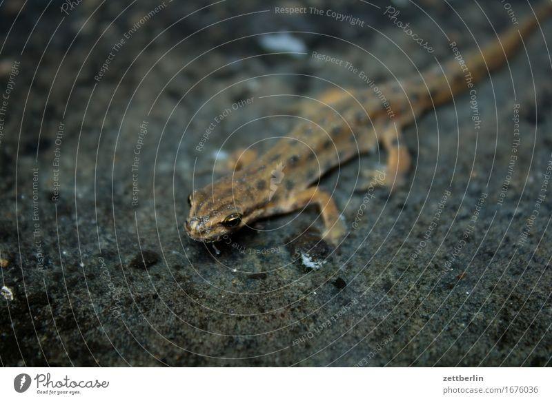 Molch von rechts oben nach links unten Natur Sommer Tier dunkel Auge klein Textfreiraum Wildtier Umweltschutz Teich Reptil Lurch Echsen Amphibie Echte Eidechsen Molch