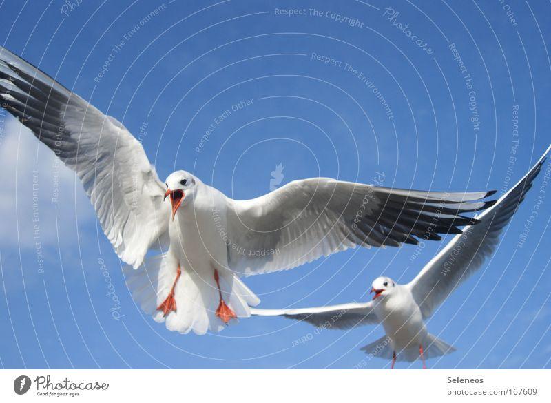 was willst du denn von mir? Farbfoto Außenaufnahme Menschenleer Textfreiraum oben Tag Tierporträt Wildtier Vogel Möwe 2 fliegen schreien blau weiß