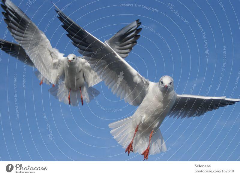 im Anflug weiß blau Tier Vogel Zusammensein fliegen Wildtier Flügel Möwe