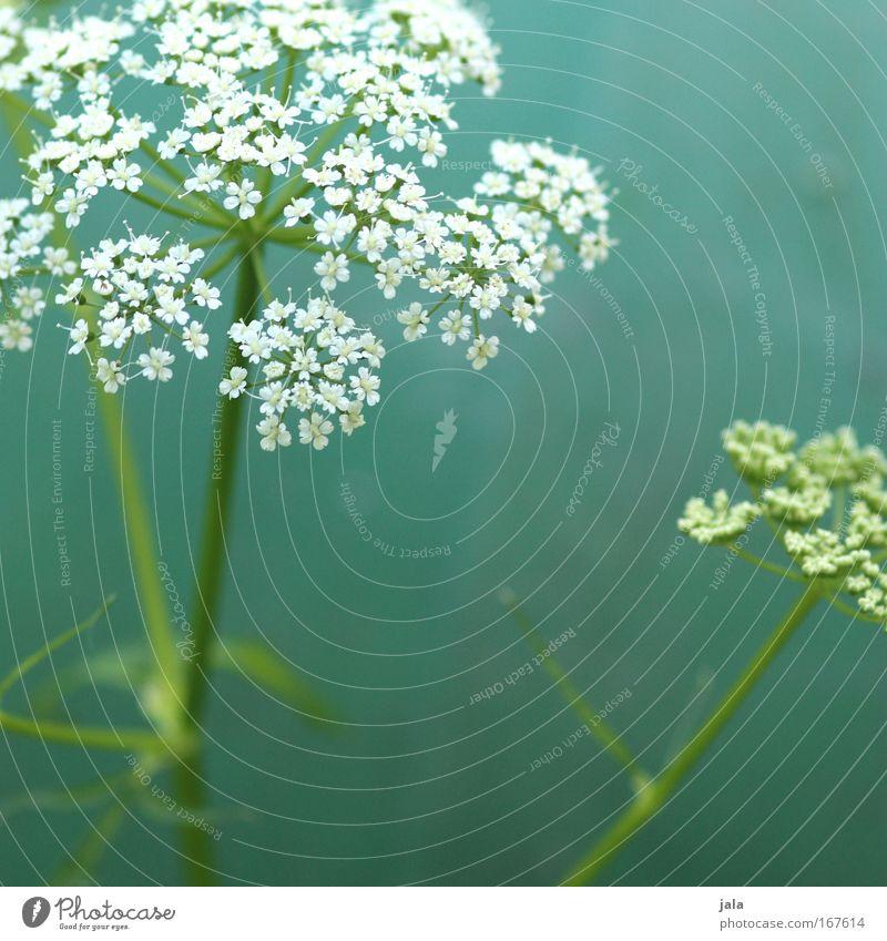 Echos of Spring schön weiß Blume grün Pflanze Wiese Blüte Park Feld Fröhlichkeit türkis Frühlingsgefühle Heilpflanzen Wildpflanze Unkraut Kerbel